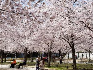 4552 300x225 - 桜咲き春まっただ中!新たな出会いの準備はいいですか?